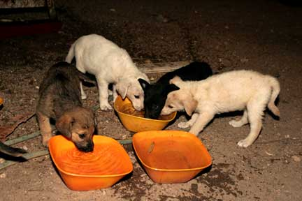 Abandoned puppies drink thirstily from containers provided by Hakol Chai/CHAI